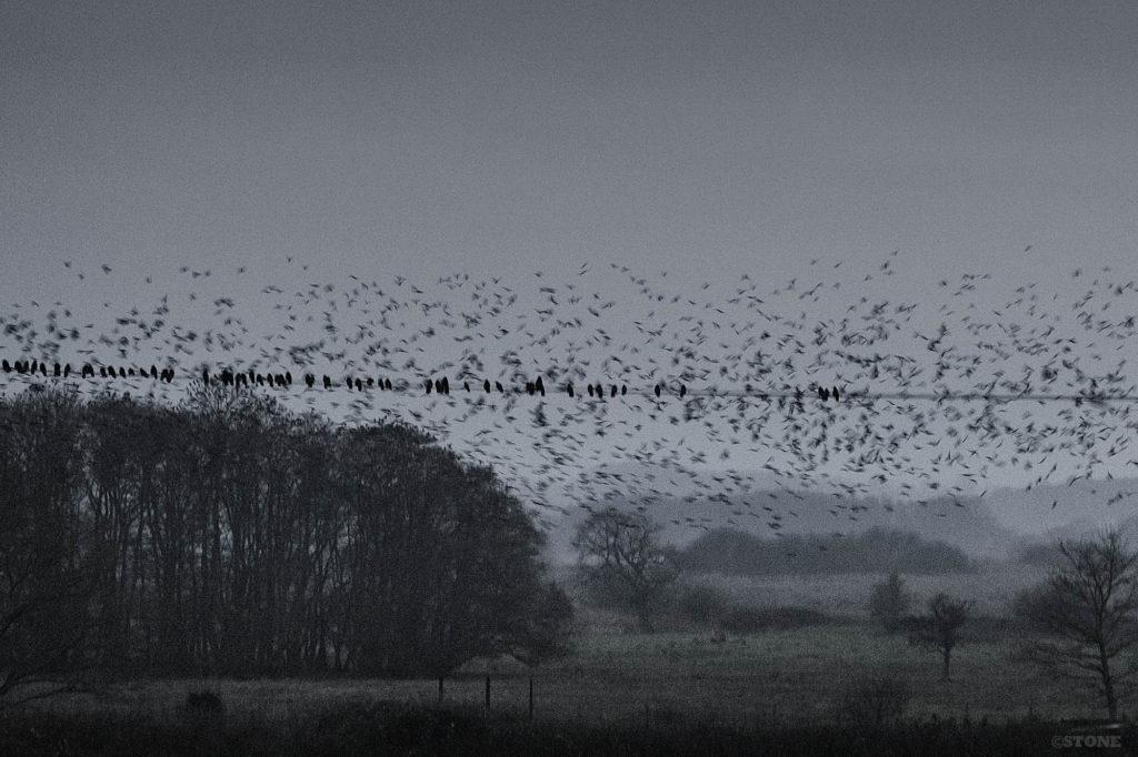 Corvid roost - Buckenham Carr