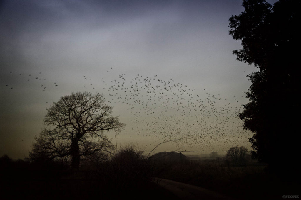 The Corvid Roost at Buckenham Carr, the birds coming in to the main roost.