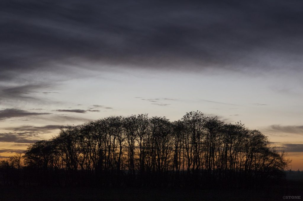 Corvid roost Buckenham Carr - the birds wait for last light